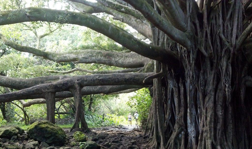 banyan-tree-514590_1920