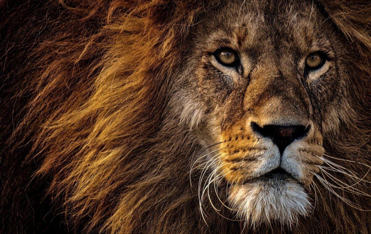 Löwenkraft-Session Männer
